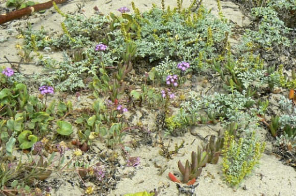 Beach Sand-Verbena, Beachbur, Beach Morning-Glory and Ice Plant in their natural habitat. Photo by Rondia Kaufer