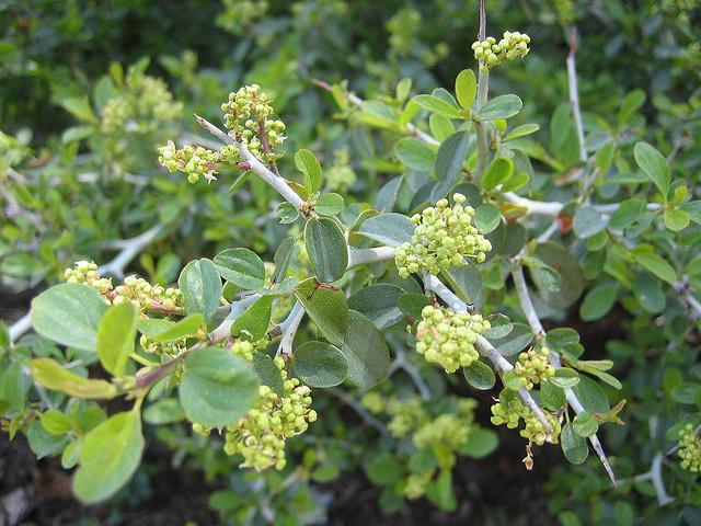 whitethorn berries