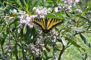 Swallowtail on Yerba Santa