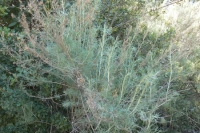 Coastal Sagebrush (Artemisia californica)