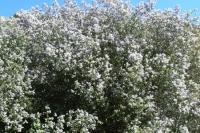 """Ceanothus """"Mountain Lilac"""""""