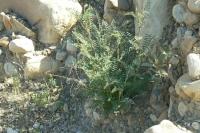 Locoweed (Astragalus spp.)