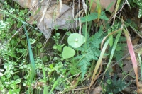 Chickweed, Miner's Lettuce and Goldback Fern