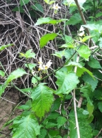 White Nightshade flowers