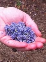 "Ceanothus ""Mountain Lilac"" flowers"