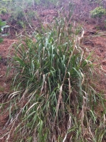 Giant Ryegrass