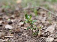 Live Oak seedlng