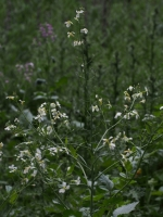Wild Radsih flowers
