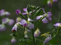 Wild Radish flower