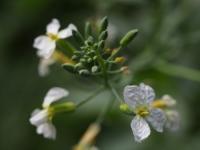 Wild Radish floweret