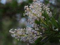 Mountain Lilac (Ceanothus) flowers