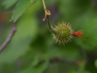 Fucshia-Flowered Gooseberry