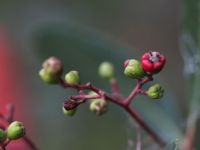 Immature Toyon Berries