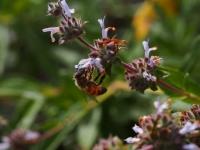 Bee on the Black Sage