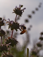 Bee on the Black Sage