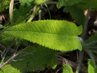 Hummingbird Sage leaf