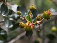 Big-Pod Ceanothus berries