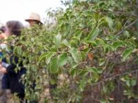 Islay Cherry (Prunus ilicifolia)
