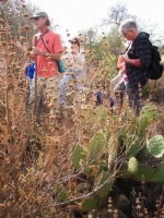 Lanny gathering Black Sage seeds (Salvia mellifera)