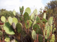 "Prickly Pear ""Nopal"" (Opuntia littoralis)"