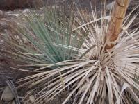 Yucca (Hesperoyucca whipplei)