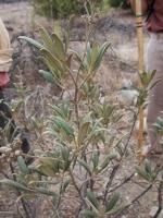 Yerba Santa (Eriodictyon crassifolium)