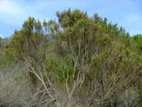 Mature Coyote Brush