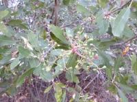 Toyon berries, immature