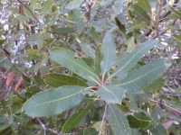 Toyon leaves