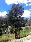 Western Juniper tree