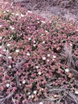 Crystalline Ice Plant