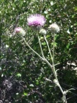 California Thistle
