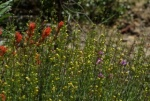 Indian Paintbrush and Foothill Penstemon