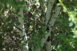 Whitethorn Ceanothus