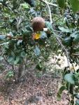 Live Oak gall